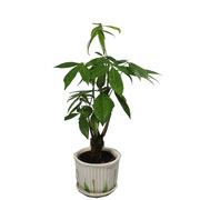國產 FAP-070 發財樹(小五辮) 9*50 綠色