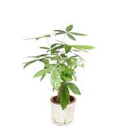 國產 FAP-071 發財樹(小獨桿) 18*46 綠色