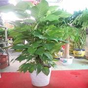國產  綠蘿 1.5m(含盆)