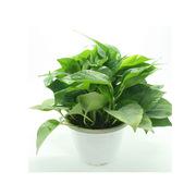 國產 室內盆栽 綠蘿 30CM