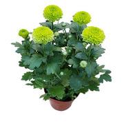 國產 0.4米高 小盆荷蘭菊花 (含塑膠盆)