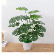 國產 0.6米高 小盆龜背竹 (含瓷盆)