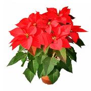 國產  小盆一品紅花含(含盆) 高30公分
