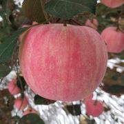 金浣熊 红富士 苹果 3.5kg